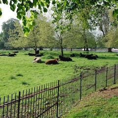 Cows in Christ Church Meadow