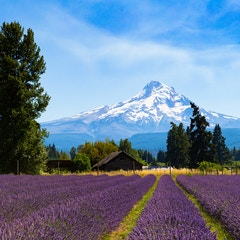 Lavender Field with Barn and Mountain (Hood River, Oregon)